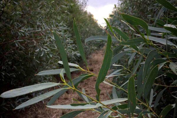 Eucalyptus Oil Plantation