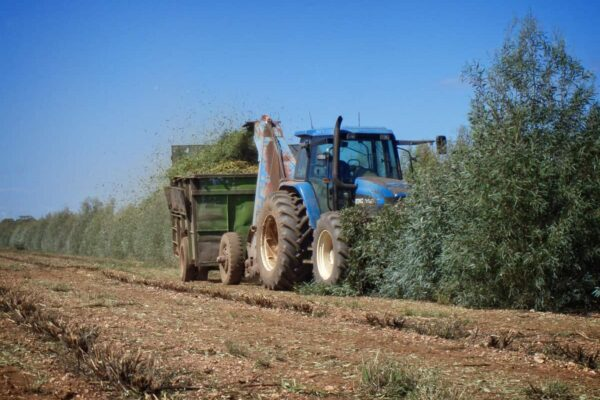 Harvesting Eucalyptus leaf for oil production