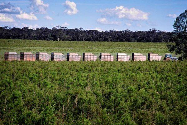 Harvesting tea tree for oil production