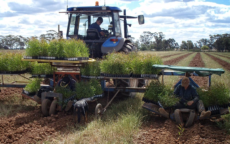 Planting Eucalyptus eedlings at West Wyalong