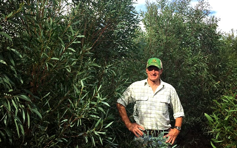 Richard Davis standing in Eucalyptus plantation row
